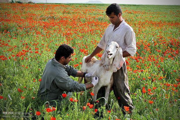 واکسیناسیون رایگان بیش از 5 میلیون راس دام در کرمانشاه