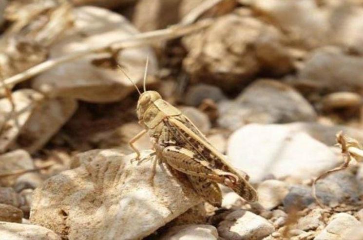 مبارزه با آفت ملخ صحرایی در سطح 8440 هکتار از اراضی انجام شد